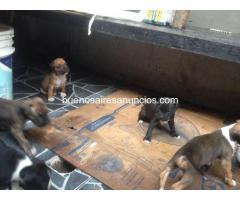 vendo cachorros boxer $1500