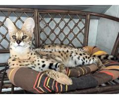 Savannah y gatitos caracales, Serval disponible